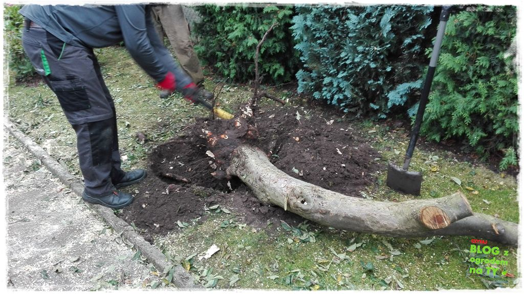 jak wyciąć drzewo zogrodemnaty19