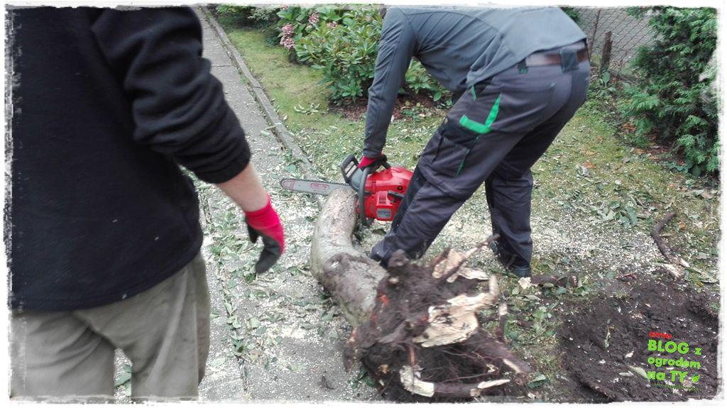 jak wyciąć drzewo zogrodemnaty20