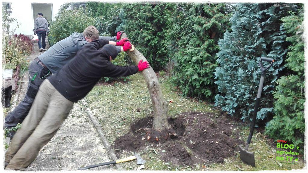 jak wyciąć drzewo zogrodemnaty16