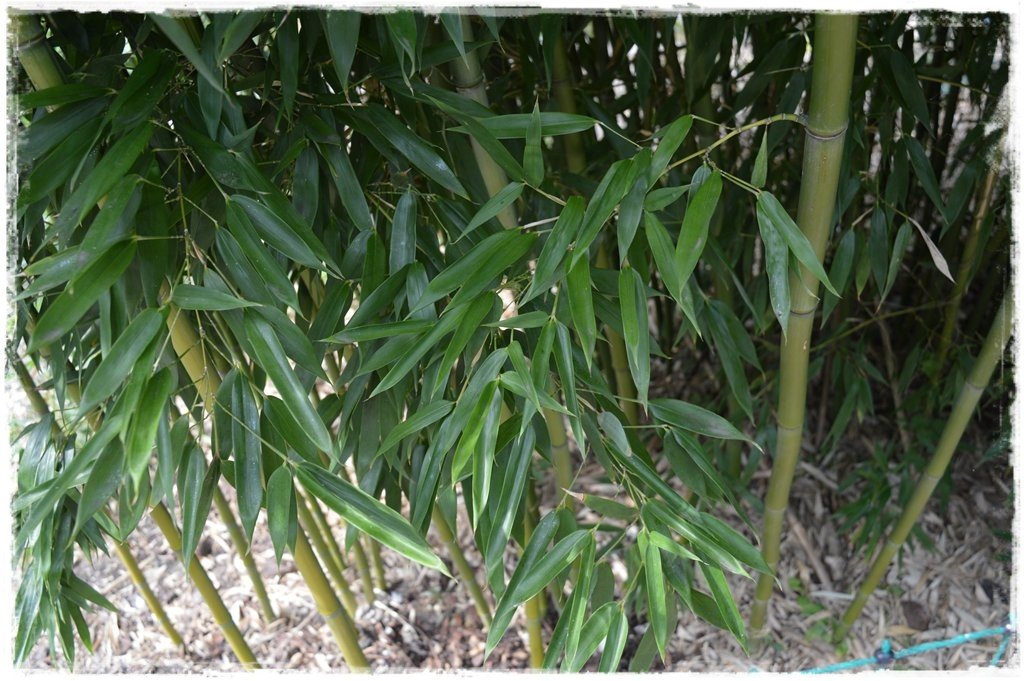 bambusy orientalne trawy do polskich ogrod w i donic. Black Bedroom Furniture Sets. Home Design Ideas