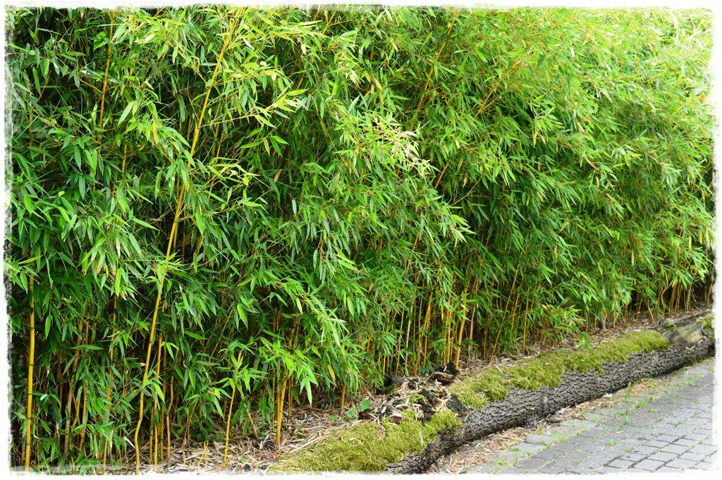 bambus-ogrodowy-zoo-opole-fylostachys-spectabilis-zywoplot