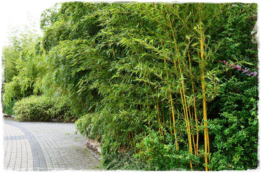 bambus-ogrodowy-zoo-opole-fylostachys-spectabilis