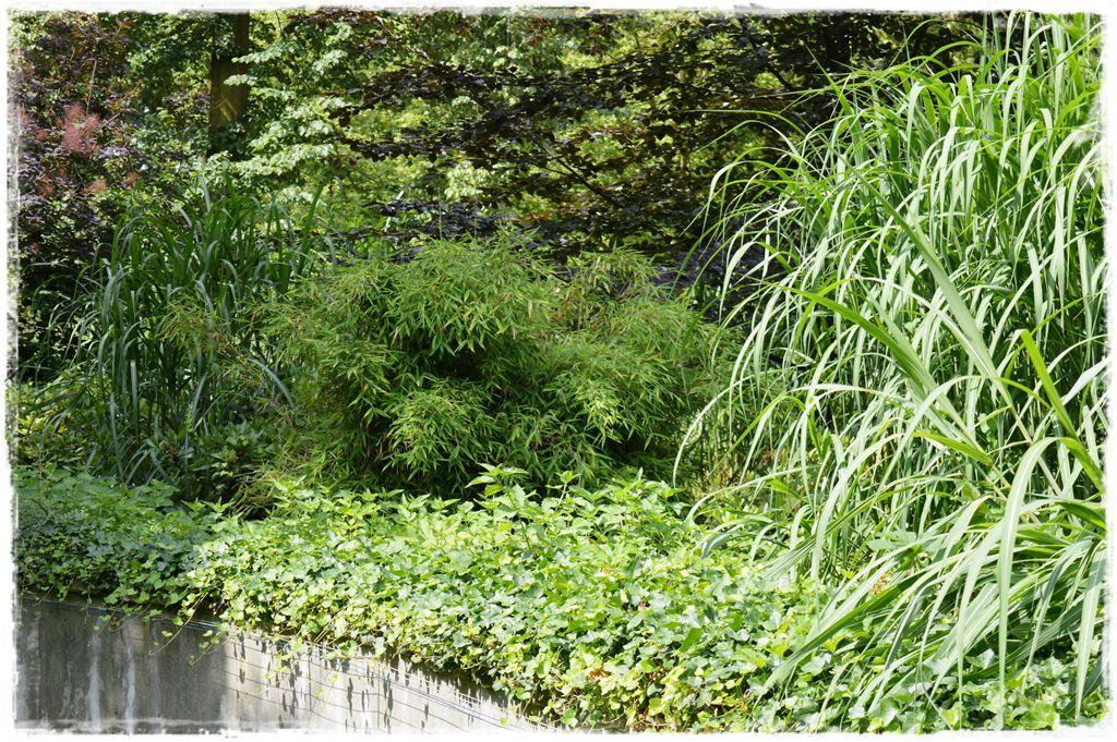 fargesia-parasolowata-bambus-zoo-opole
