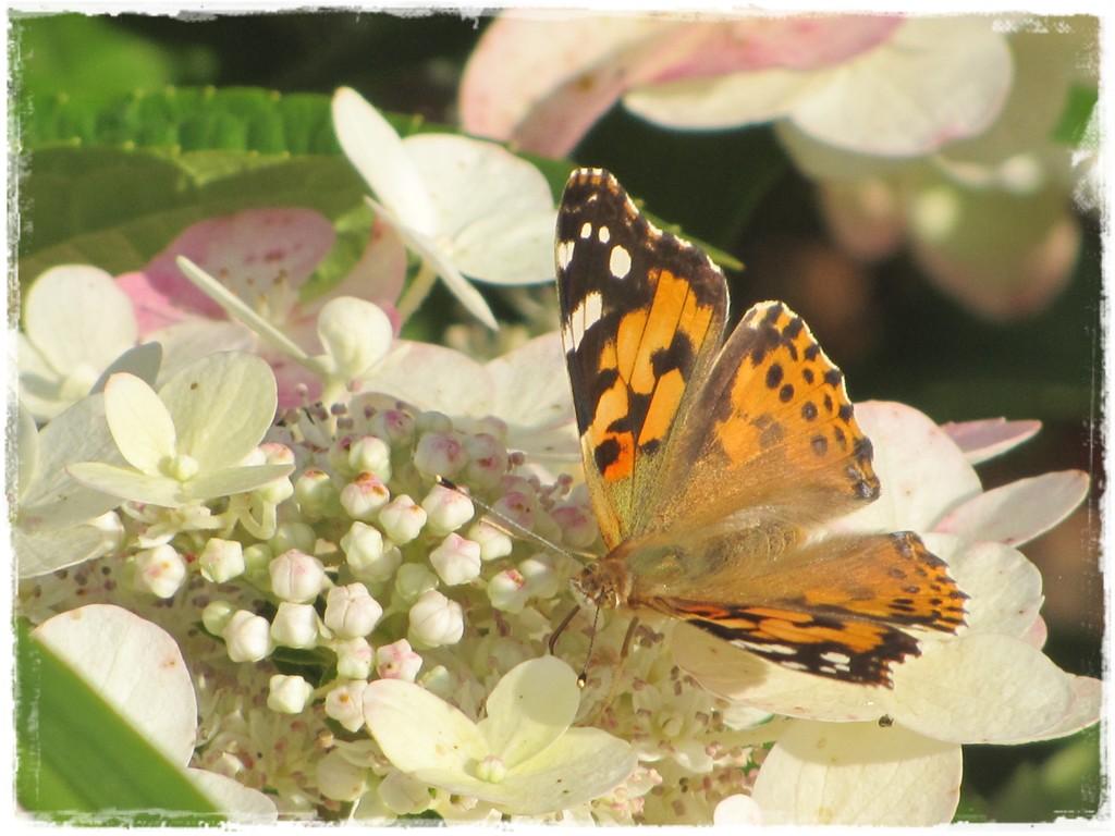 motyle w ogrodzie zogrodemnaty11