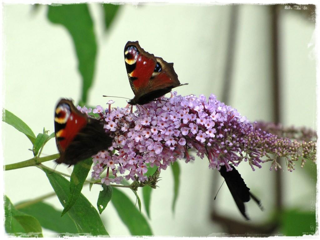 motyle w ogrodzie zogrodemnaty15