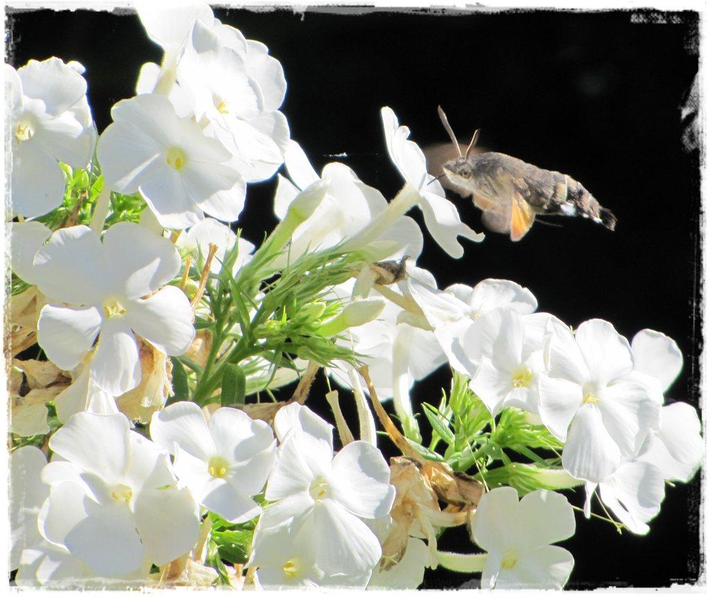 motyle w ogrodzie zogrodemnaty18