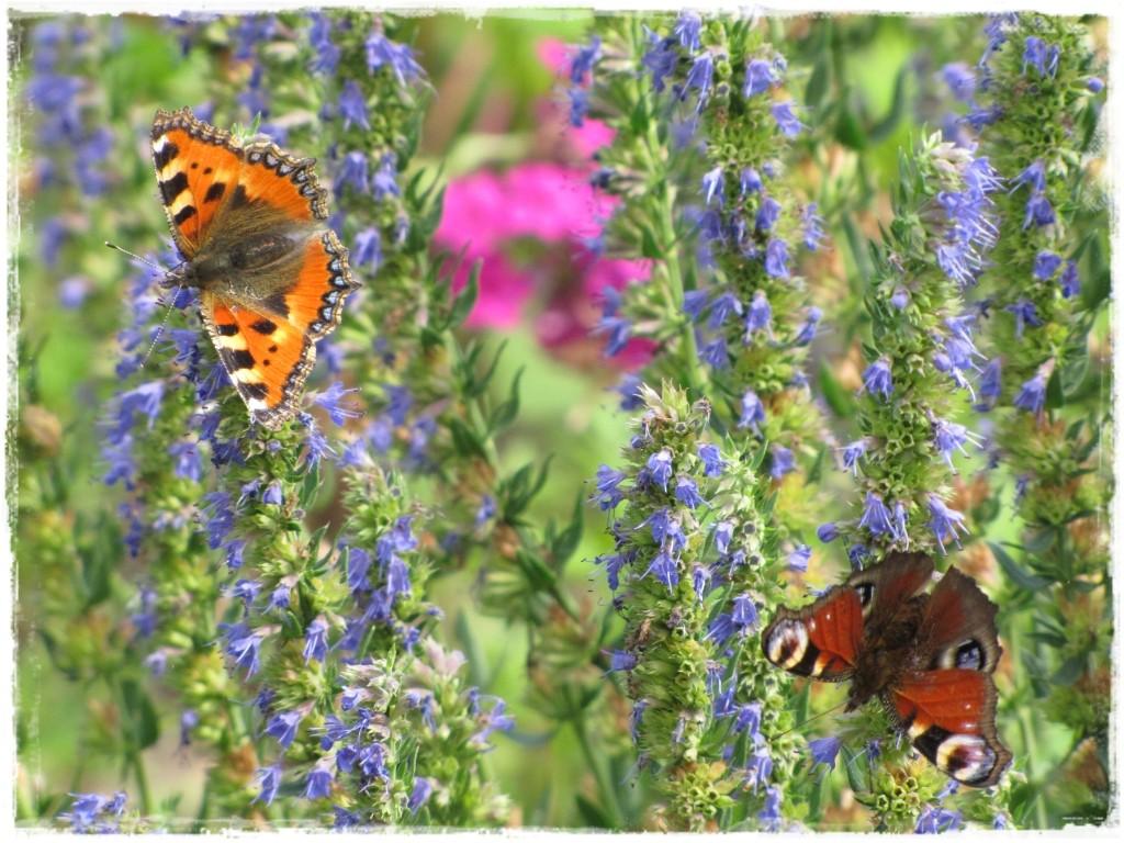 motyle w ogrodzie zogrodemnaty20