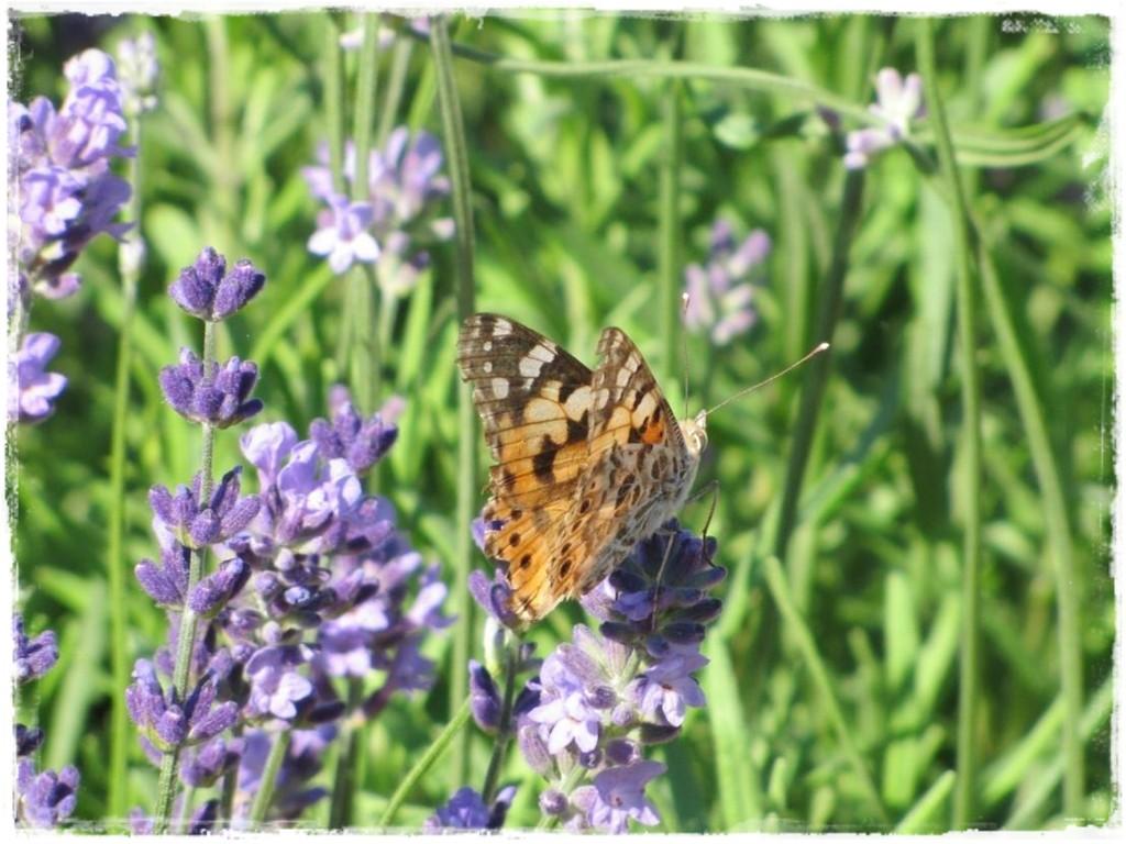 motyle w ogrodzie zogrodemnaty21