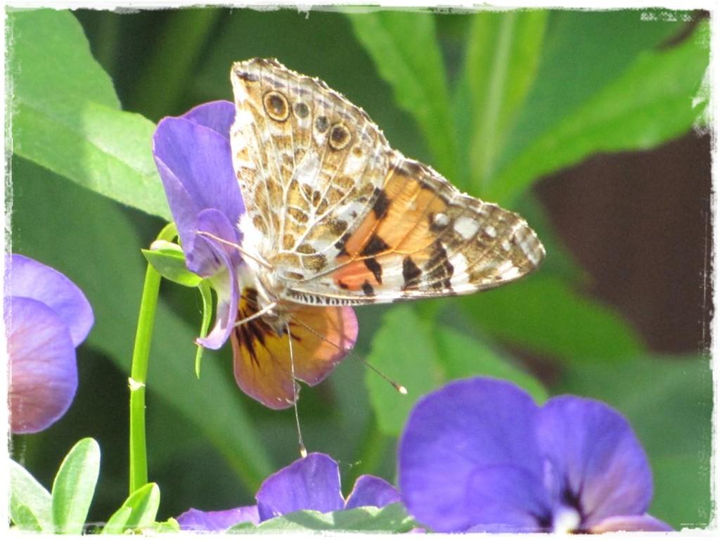 motyle w ogrodzie zogrodemnaty22