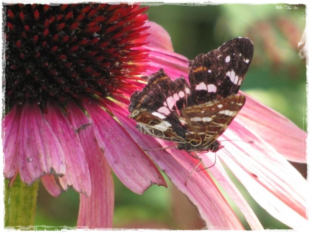 motyle w ogrodzie zogrodemnaty23
