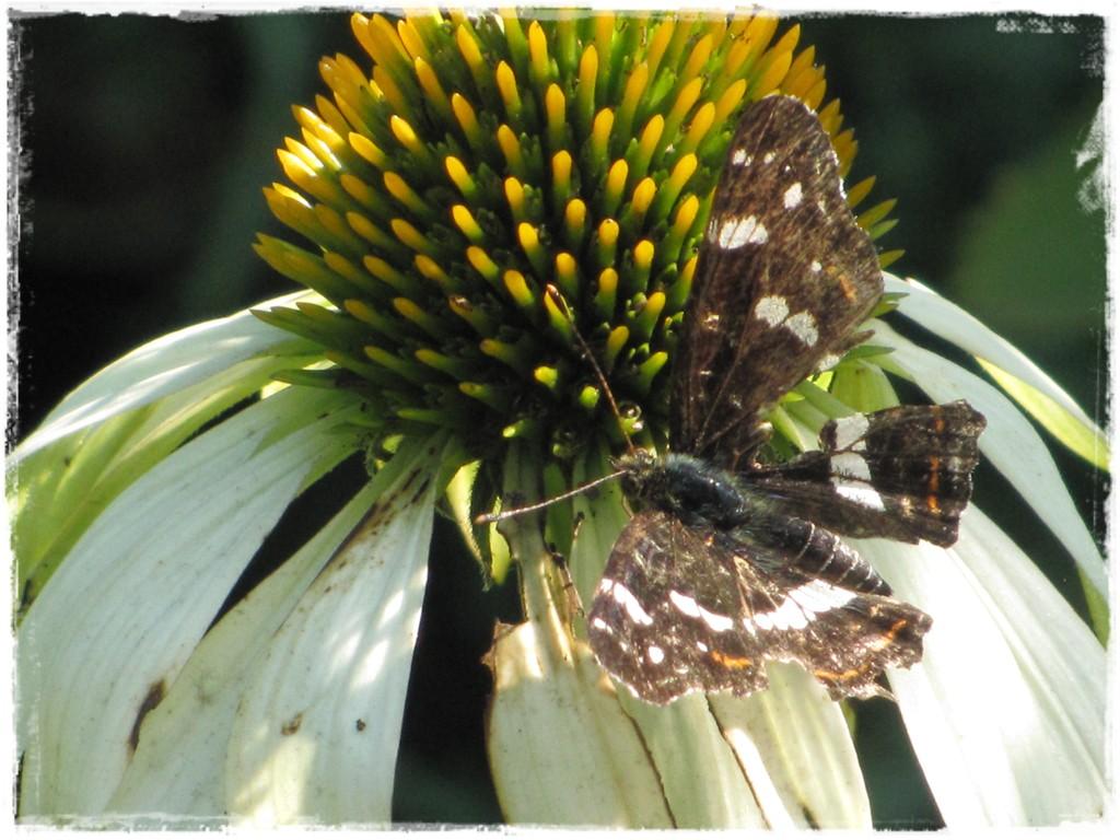motyle w ogrodzie zogrodemnaty31