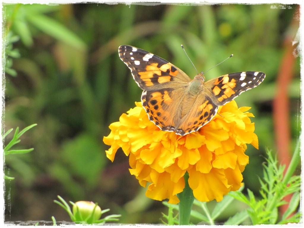 motyle w ogrodzie zogrodemnaty4