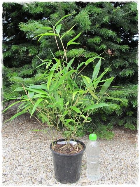 sadzonka-drzewiasty-spectabilis