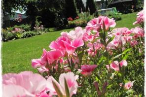 Godecja wielkokwiatowa zogrodemnaty1
