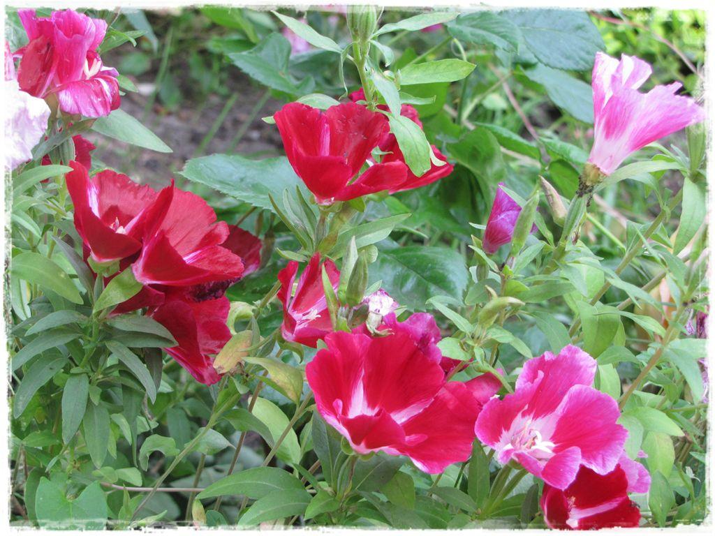 Godecja wielkokwiatowa zogrodemnaty7