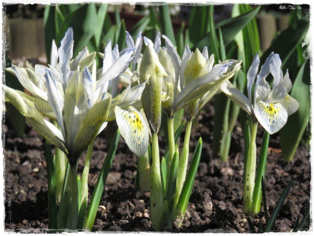 kwiaty kwitnące wczesną wiosną zogrodemnaty17 irys żyłkowany tomek 1