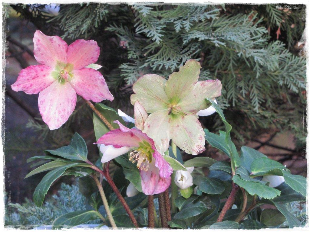 kwiaty kwitnące wczesną wiosną zogrodemnaty3 ciemiernik