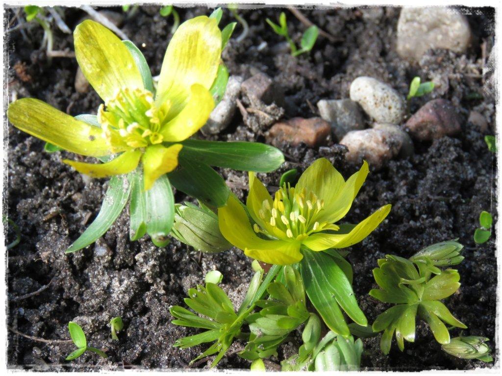kwiaty kwitnące wczesną wiosną zogrodemnaty4 rannik