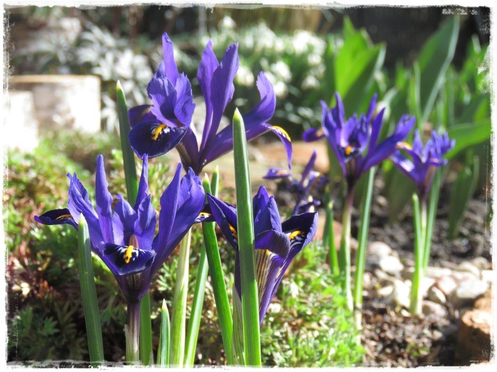 kwiaty kwitnące wczesną wiosną zogrodemnaty16 irys żyłkowany