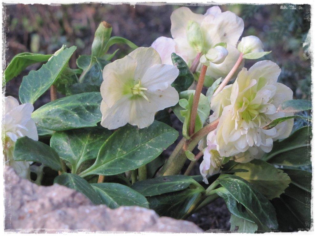 kwiaty kwitnące wczesną wiosną zogrodemnaty2 ciemiernik