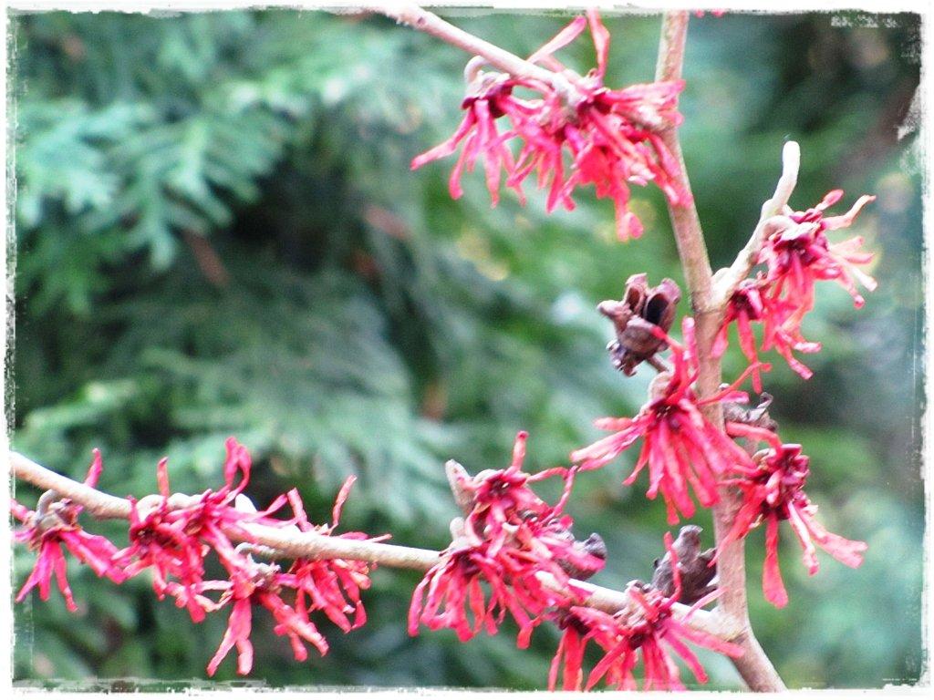 kwiaty kwitnące wczesną wiosną zogrodemnaty22 oczar