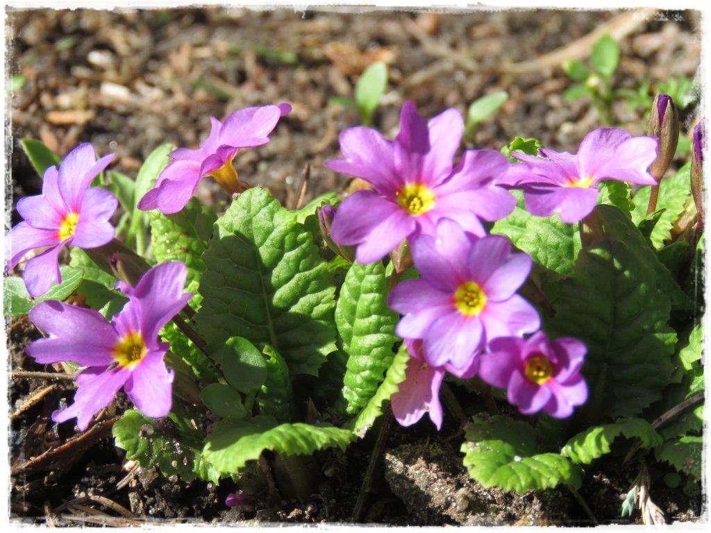 kwiaty kwitnące wczesną wiosną zogrodemnaty10 pierwiosnek gruziński