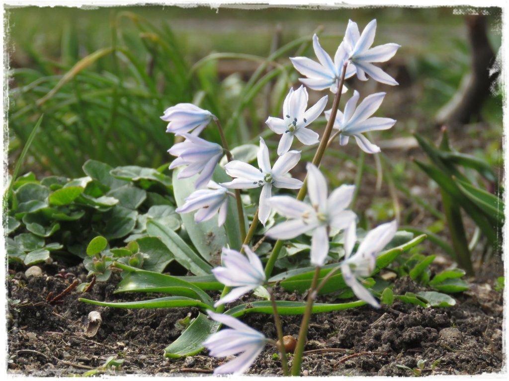 kwiaty kwitnące wczesną wiosną zogrodemnaty13 puszkinia