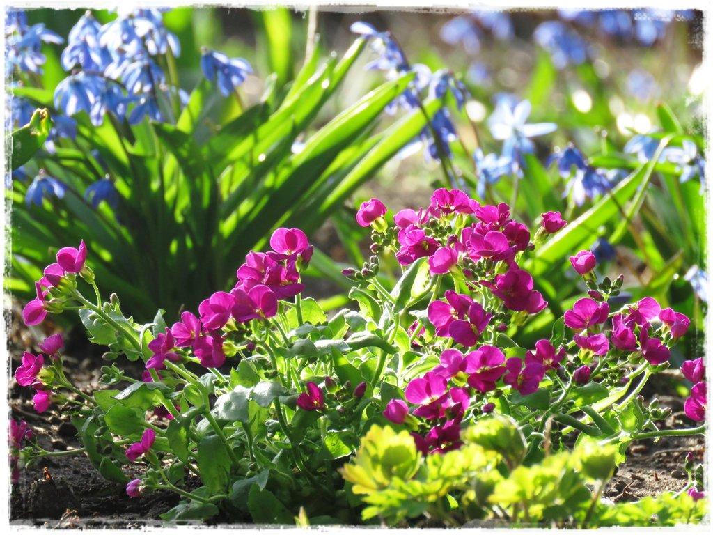 kwiaty kwitnące wczesną wiosną zogrodemnaty1 gęsiówka kaukaska