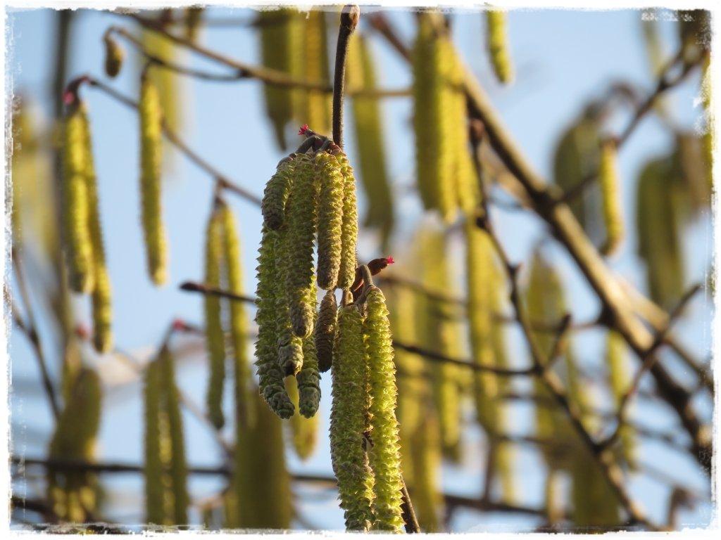 kwiaty kwitnące wczesną wiosną zogrodemnaty23 leszczyna