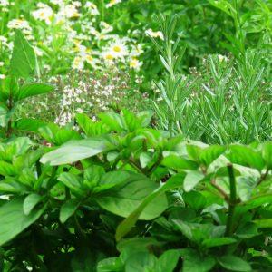3 zioła w ogrodzie zogrodemnaty