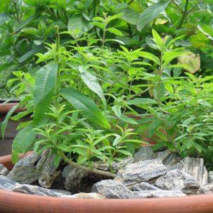 4 zioła w ogrodzie zogrodemnaty