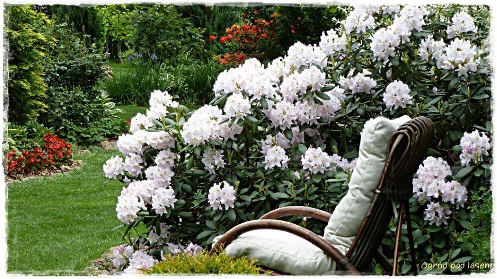 Rododendron w czerwcu