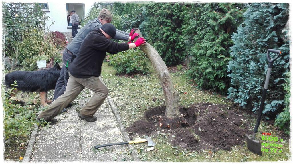 jak wyciąć drzewo zogrodemnaty17