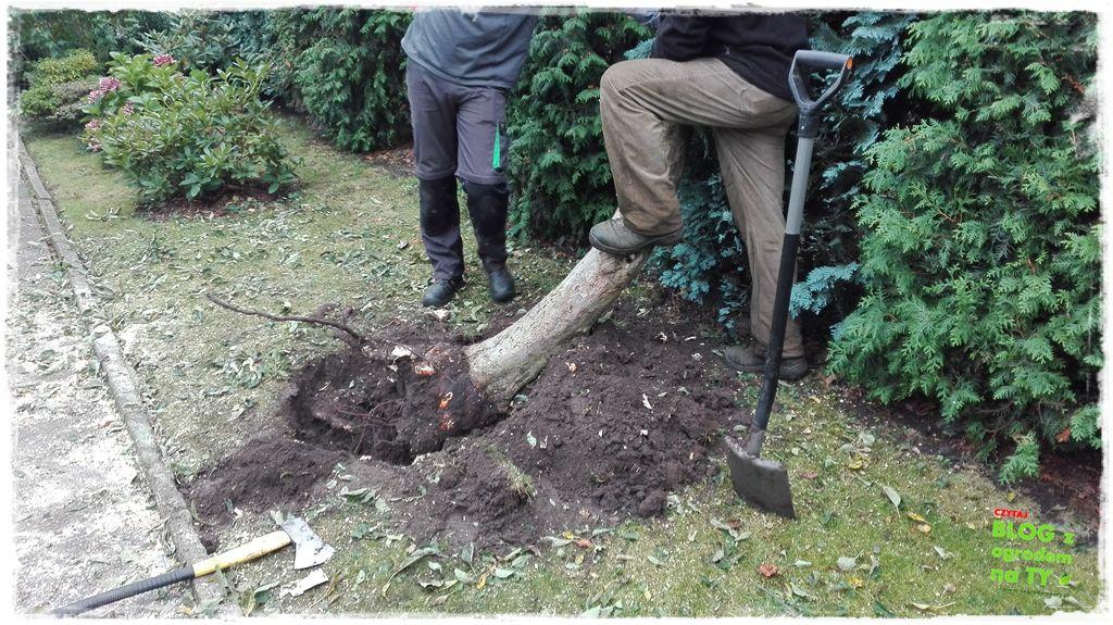jak wyciąć drzewo zogrodemnaty18