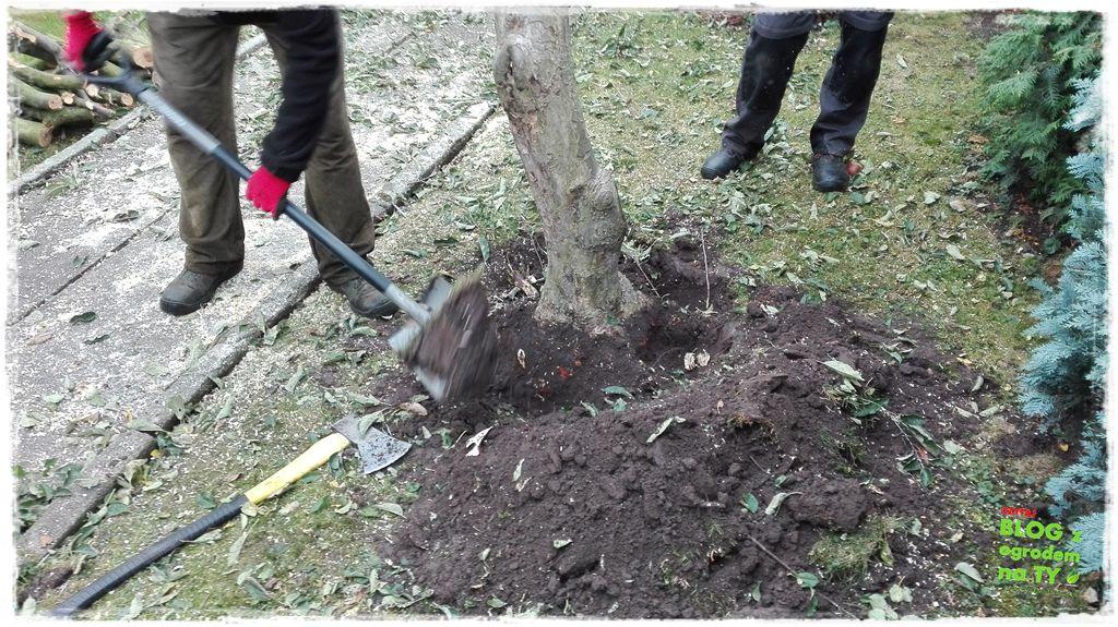 jak wyciąć drzewo zogrodemnaty14