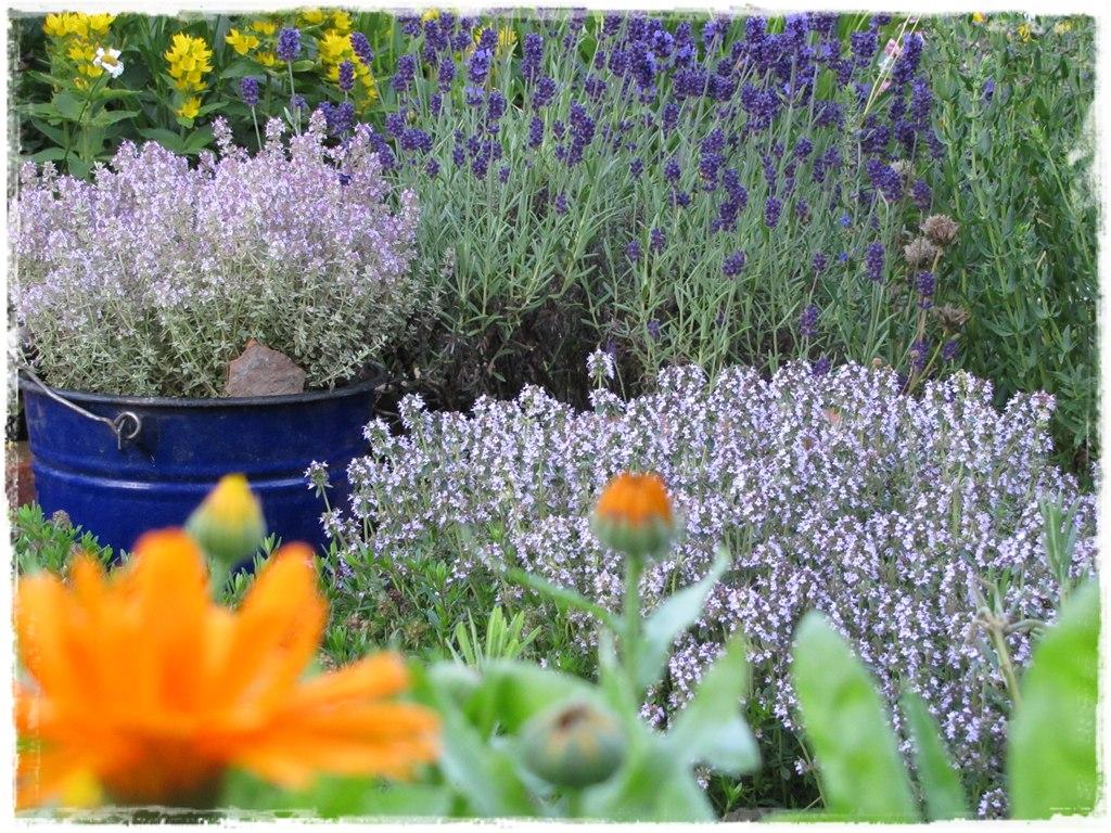 zioła w ogrodzie zogrodemnaty3