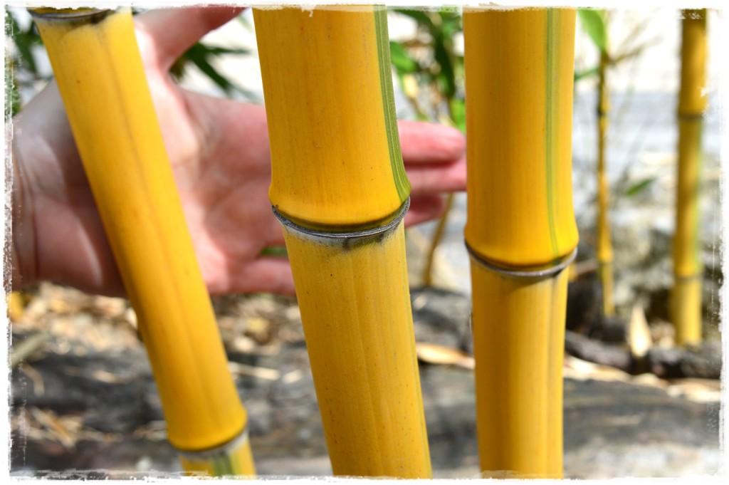Bambus-fylostachys-zlotobruzdowy-spectabilis-zoo
