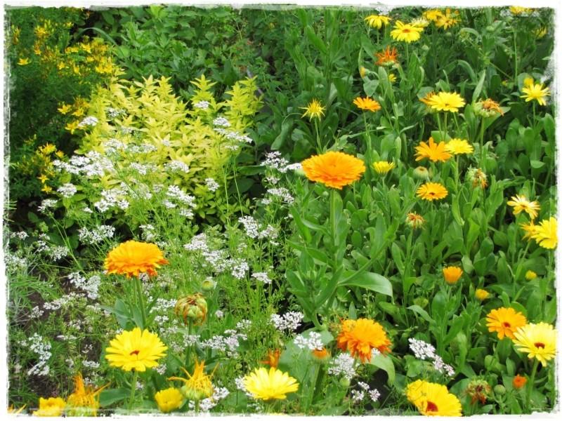 zioła w ogrodzie zogrodemnaty17