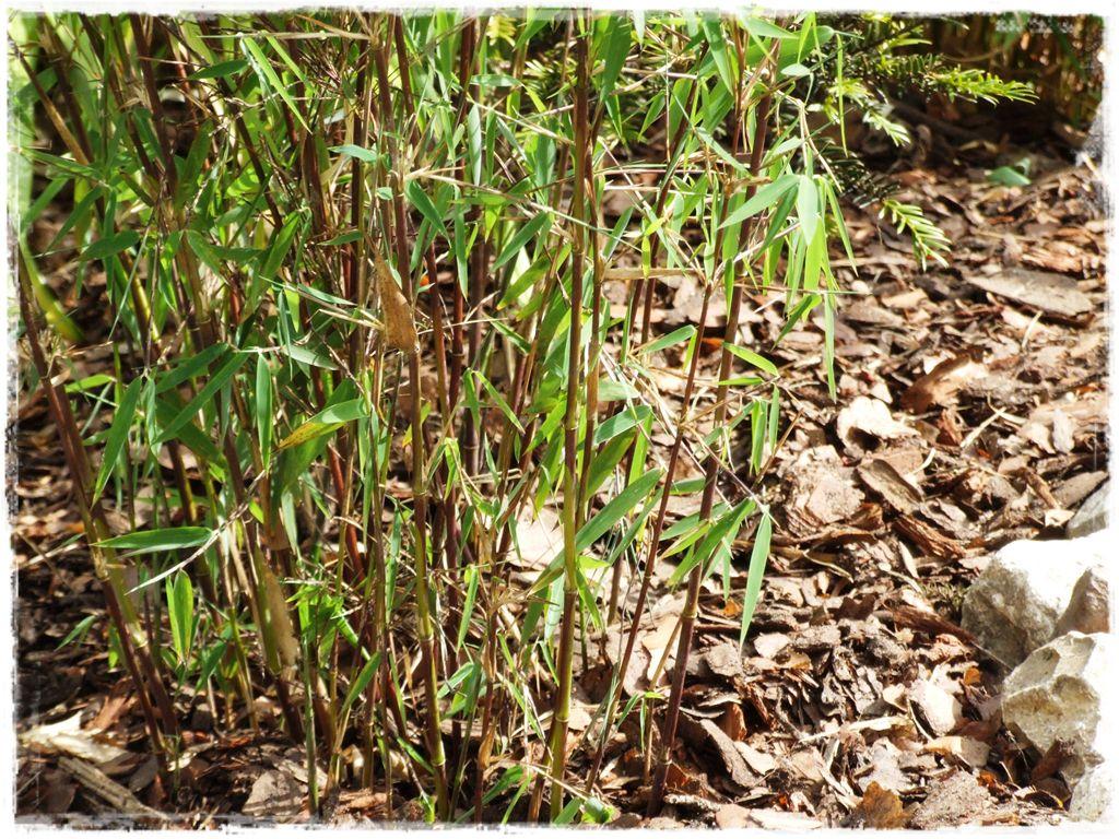 czerwony-bambus