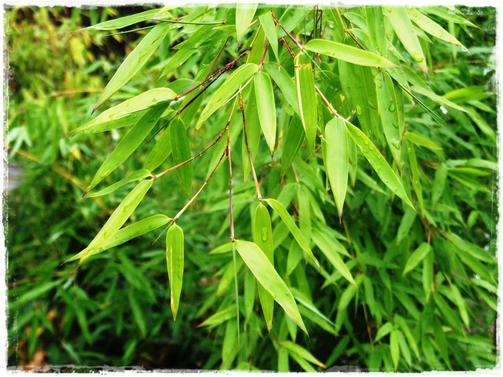 li_cie-bambusa-fylostachys-z_otobruzdowy-spectabilis-2