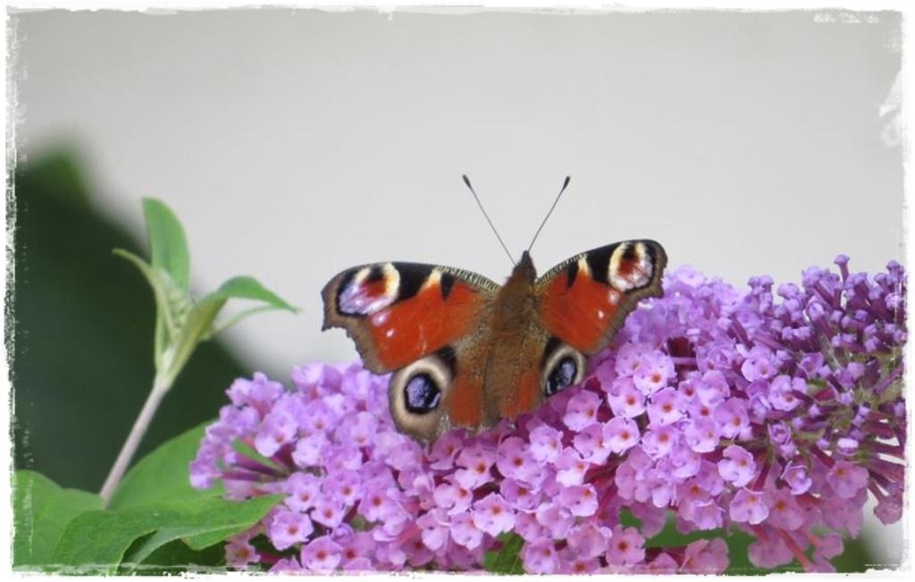 motyle w ogrodzie zogrodemnaty1