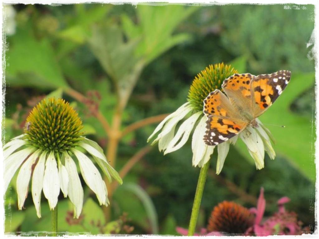 motyle w ogrodzie zogrodemnaty16