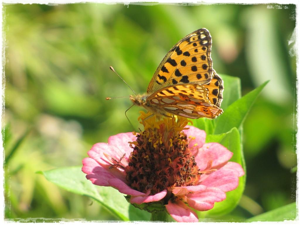 motyle w ogrodzie zogrodemnaty17