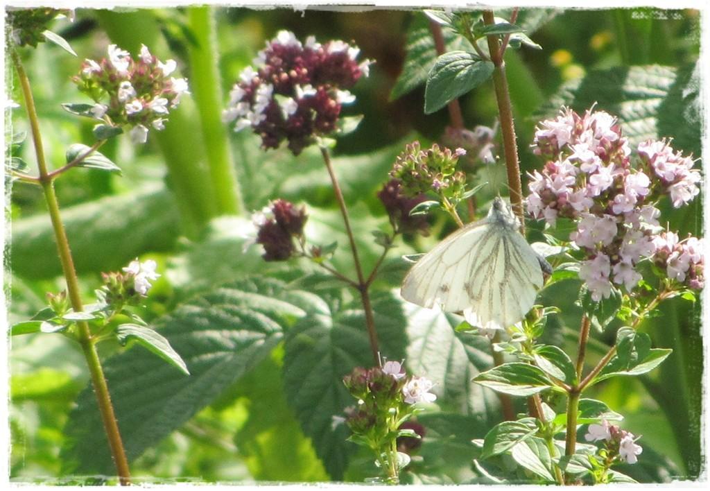 motyle w ogrodzie zogrodemnaty19
