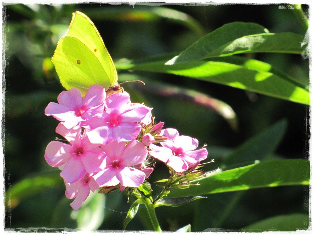 motyle w ogrodzie zogrodemnaty25