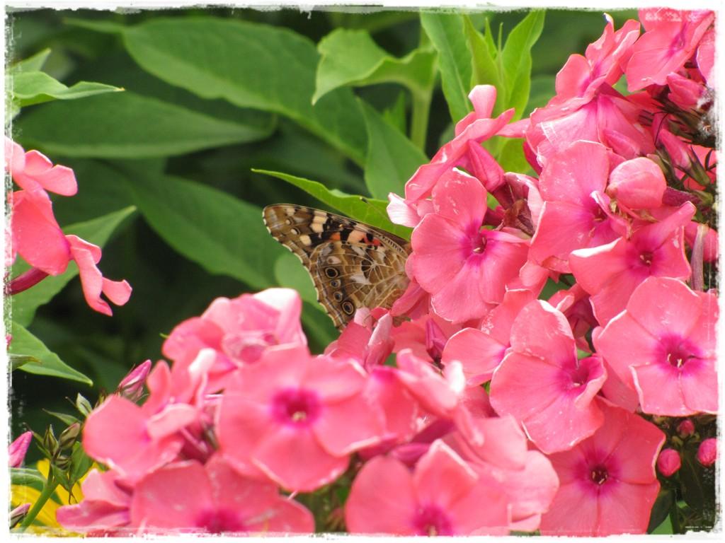 motyle w ogrodzie zogrodemnaty26