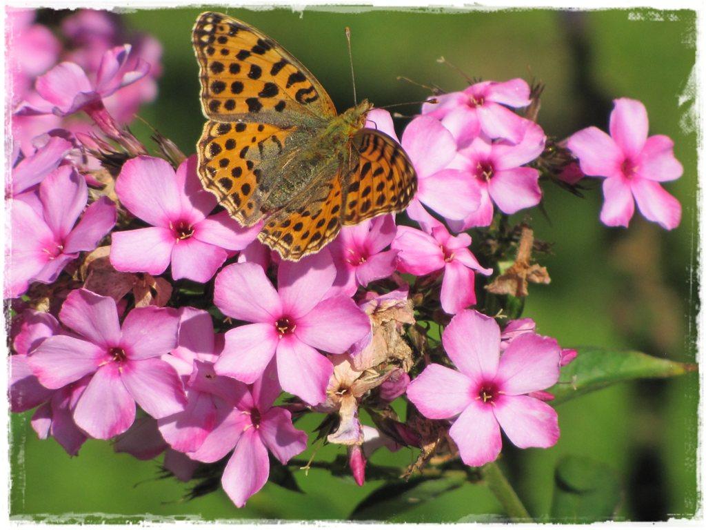 motyle w ogrodzie zogrodemnaty34