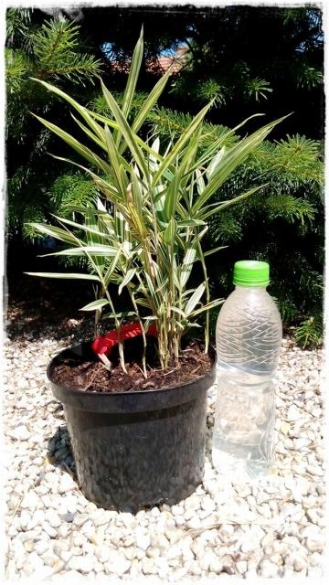 sadzonka-okrywowy-pleioblast-variegata