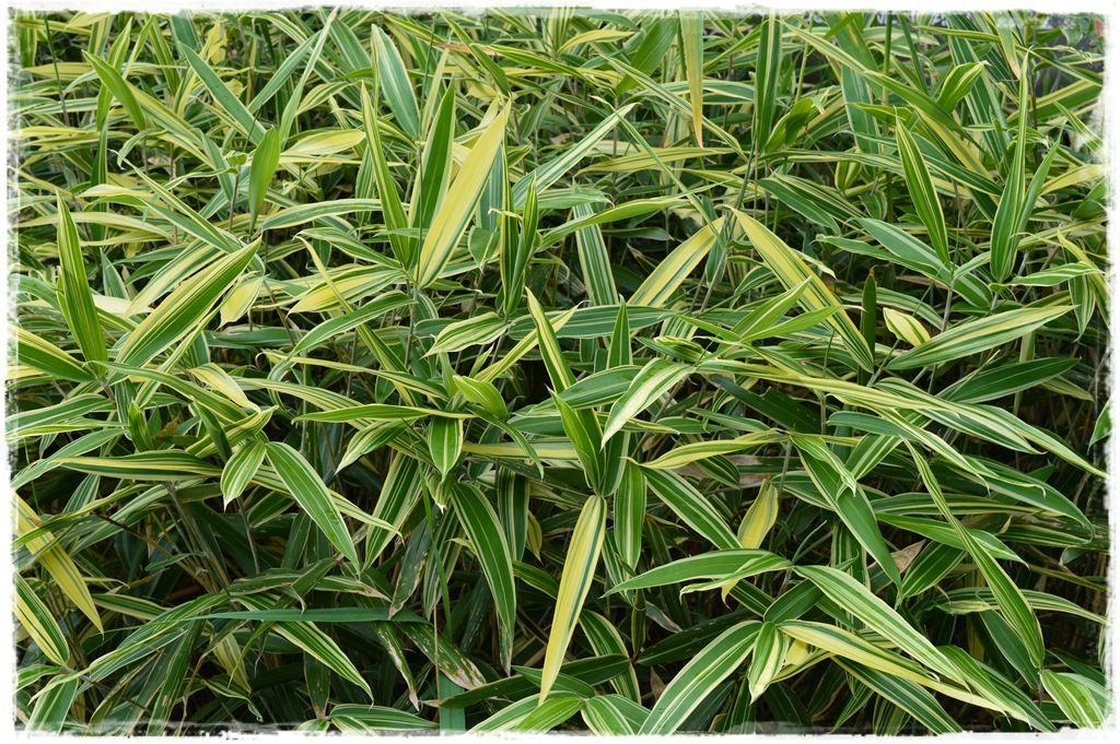 sasaella-masamunego-albostriata-okrywowy-2