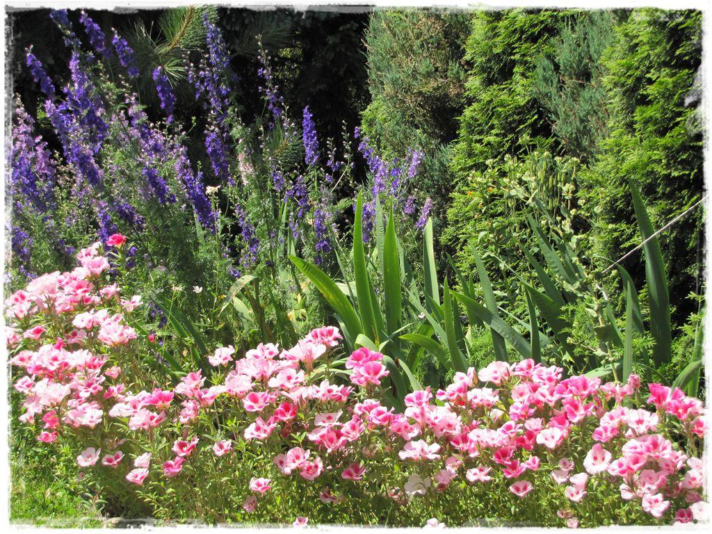 Godecja wielkokwiatowa zogrodemnaty2